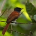 Roodbuikparadijsmonarch – Black-headed Paradise-flycatcher