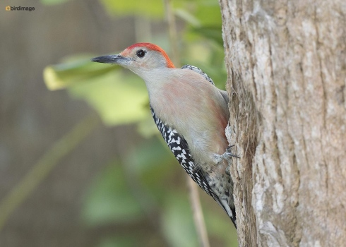 Roodbuikspecht - Red-bellied woodpecker 002