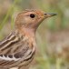 Roodkeelpieper – Red-throated Pipit