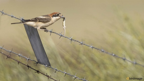Roodkopklauwier - Woodchat Shrike 12