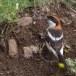 Roodkopklauwier - Woodchat Shrike 04