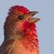 roodmus-common-rosefinch-02