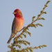 roodmus-common-rosefinch-03