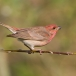 roodmus-common-rosefinch-08