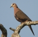Roodoogtortel – Red-eyed Dove