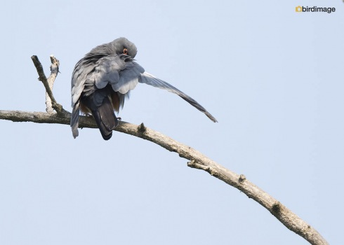 Roodpootvalk - Red-footed Falcon 08