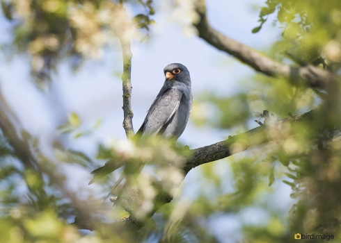 Roodpootvalk - Red-footed Falcon 07