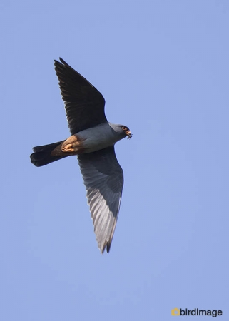 Roodpootvalk - Red-footed Falcon 12
