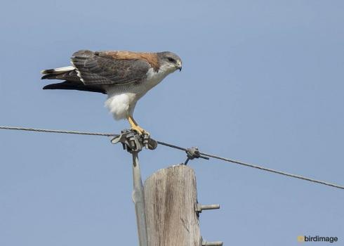 Roodrugbuizerd_Variable Hawk 01