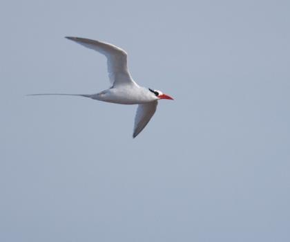 roodsnavel-keerkringvogell-tropicbird-01