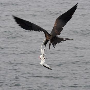 roodsnavel-keerkringvogell-tropicbird-02