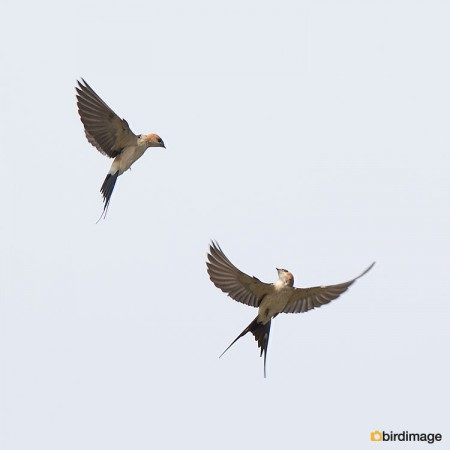 Roodstuitzwaluw - Red-rumped Swallow 09