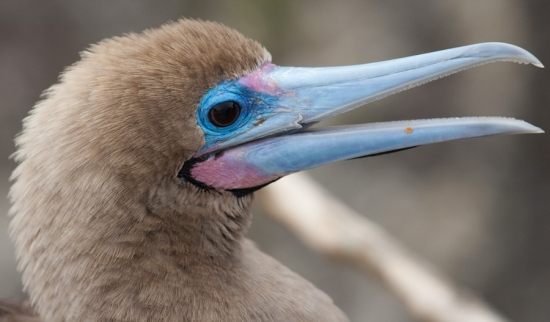 roodvoetgent-red-footed-boobie-01