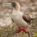 Roodpootgent – Red-footed Boobie