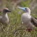roodvoetgent-red-footed-boobie-06