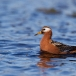 rosse-franjepoot-red-phalarope-03