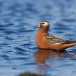 rosse-franjepoot-red-phalarope-04