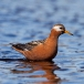 rosse-franjepoot-red-phalarope-06