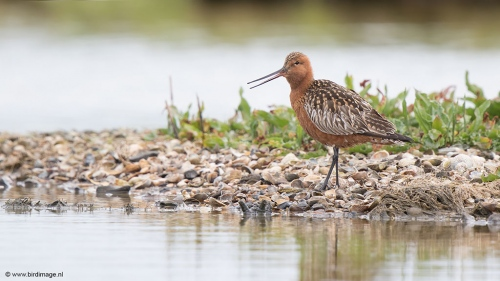 Rosse Grutto - Bar-tailed Godwit 05