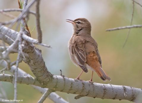 Rosse waaierstaart- Rufous-tailed Bushchat 03