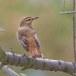 Rosse waaierstaart- Rufous-tailed Bushchat 02