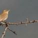 Rosse waaierstaart- Rufous-tailed Bushchat 06