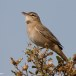 Rosse waaierstaart- Rufous-tailed Bushchat 09