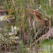 rossig-woudaapje-cinnamon-bittern-04