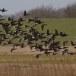 Rotgans  - Brant Goose 02