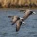Rotgans  - Brant Goose 03
