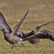 Rotgans  - Brant Goose 07