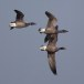 Rotgans  - Brant Goose 09
