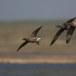 Rotgans  - Brant Goose 10