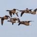 Rotgans  - Brant Goose 14