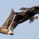 Rotgans  - Brant Goose 15