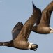 Rotgans  - Brant Goose 16