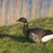 Rotgans  - Brant Goose 19