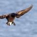 Rotgans  - Brant Goose 20