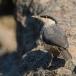 rotsklever-western-rock-nuthatch-02