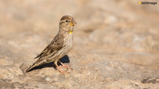 Rotsmus - Rock Sparrow 05