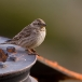 rotsmus-rock-sparrow-01