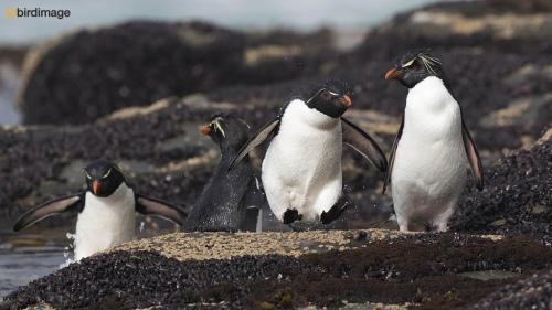 Rotsspringer_Southern Rockhopper Penguin 06