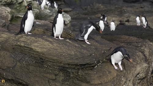 Rotsspringer_Southern Rockhopper Penguin 15
