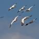 roze-pelikaan-great-white-pelican-02