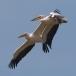 roze-pelikaan-great-white-pelican-03