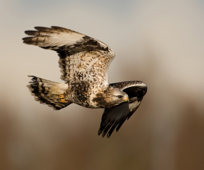 ruigpootbuizerd-rough-legged-buzzard-04