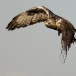 ruigpootbuizerd-rough-legged-buzzard-02