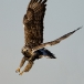 ruigpootbuizerd-rough-legged-buzzard-03