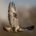 ruigpootbuizerd-rough-legged-buzzard-05