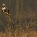 ruigpootbuizerd-rough-legged-buzzard-06